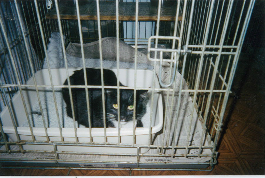 A homeless cat in a Berkeley shelter. A home was never found for this cat — just one of the many lives lost.  Joan Clair photo