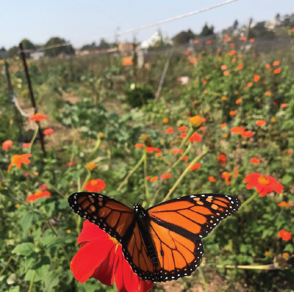 A black and orange Monarch sits on an orange Mexican Marigold flower